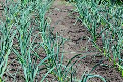 Leeks in a vegetable garden Royalty Free Stock Image
