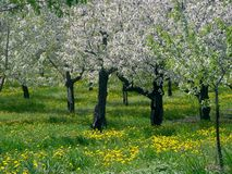 Leelanau Cherry Trees. Spring Cherry blossoms in Leelanau County, Michigan, the Cherry Capital of the world Royalty Free Stock Images