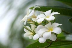leelavadee цветка тропическое Стоковое фото RF
