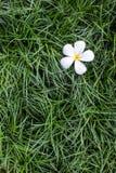 Leelavadee, Plumeria, τροπικό λουλούδι στη χλόη Στοκ Εικόνα