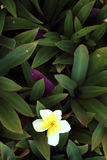 Leelavadee, Plumeria, flor tropical en arbusto Fotografía de archivo libre de regalías