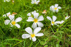 Leelavadee, Plumeria, flor tropical en hierba foto de archivo libre de regalías