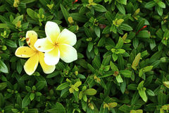 Leelavadee, Plumeria, tropical flower. On bush Stock Photo