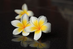 Leelavadee, Plumeria, tropical flower stock photography