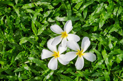 Leelawadee или Plumeria, тропический цветок на тропическом поле травы ковра Стоковое фото RF