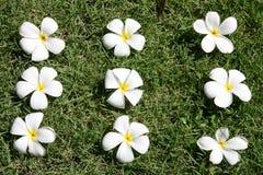 leelawadee цветка Стоковые Фотографии RF