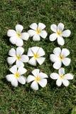 leelawadee цветка Стоковое Изображение RF