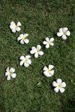 leelawadee цветка Стоковое Фото