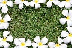 leelawadee цветка Стоковая Фотография RF