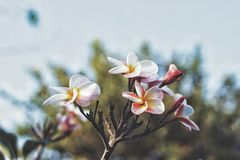Leelawadee blommor Royaltyfri Bild