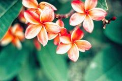 Leelawadee de la flor Fotografía de archivo libre de regalías