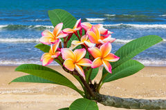 Leelawadee flower at beach Royalty Free Stock Photography