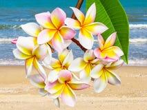 Leelawadee flower at beach Royalty Free Stock Image