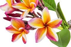 Leelawadee flower isolated Stock Image