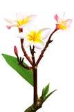 Leelawadee flower isolated Stock Photo