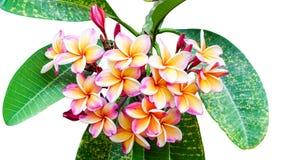 Leelawadee flower isolated Royalty Free Stock Photography