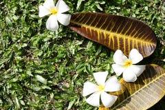 Leelawadee flower with leaves Stock Photos