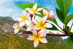 Leelawadee flower at mountain Royalty Free Stock Photos