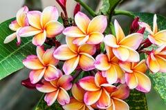 Leelawadee flower Stock Images