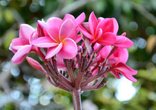 Leelawadee flower Stock Image