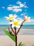 Leelawadee flower vacation at beach Royalty Free Stock Image