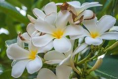 Leelawadee flower. White in stock Royalty Free Stock Image