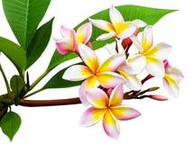 Leelawadee kwiat odizolowywający Fotografia Royalty Free