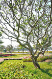 Leelawadee plant on green field Stock Photography