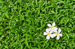 Leelawadee or Plumeria, tropical flower on grass. Leelawadee or Plumeria, tropical flower on Tropical Carpet Grass field Royalty Free Stock Image