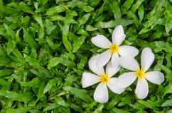Leelawadee or Plumeria, tropical flower on grass. Leelawadee or Plumeria, tropical flower on Tropical Carpet Grass field Stock Photography