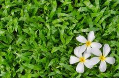 Leelawadee or Plumeria, tropical flower on grass Royalty Free Stock Photos