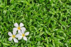 Leelawadee or Plumeria, tropical flower on grass. Leelawadee or Plumeria, tropical flower on Tropical Carpet Grass field Stock Images