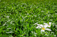 Leelawadee or Plumeria, tropical flower on grass. Leelawadee or Plumeria, tropical flower on Tropical Carpet Grass field Stock Image