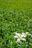 Leelawadee or Plumeria, tropical flower on grass. Leelawadee or Plumeria, tropical flower on Tropical Carpet Grass field Royalty Free Stock Photos