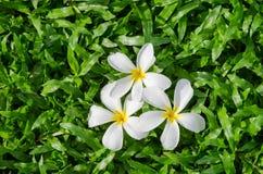 Leelawadee or Plumeria, tropical flower on Tropical Carpet Grass field.  Royalty Free Stock Photo