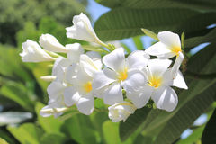 Leelawadee white flower close up hanging on the tree Royalty Free Stock Photo
