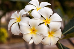 Leelawadee. White and fresh flower Royalty Free Stock Photography