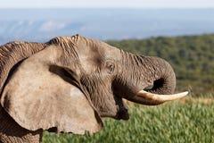 Leende - afrikanBush elefant Arkivbilder