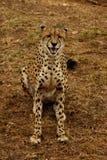 leende för cheetah s Royaltyfri Foto