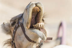 leende för kamel s Royaltyfri Foto