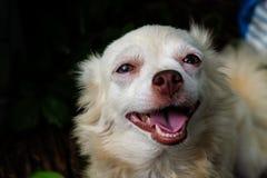 Leende för liten hund för Chihuahua lyckligt Royaltyfria Bilder