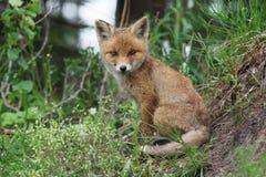 Leende för röd räv Arkivfoton