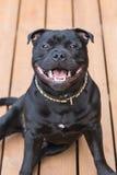 Leende på en lycklig staffordshire bull terrier hund arkivfoto
