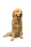 Leendegolden retriever Royaltyfria Bilder