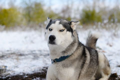 Leer dissatisfied sled dog Royalty Free Stock Photos