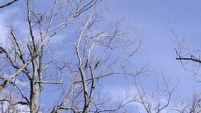 Leere Bäume auf weißem beweglichem Wolken timelapse stock footage