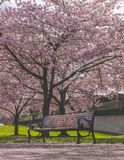 Leere Bank- und Kirschblütenbäume stockbilder