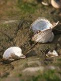 Leere Herzmuschel-Shells Stockbild