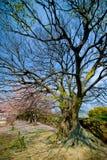 Leere Niederlassungen von Kirschblüte-Bäumen Lizenzfreie Stockfotografie