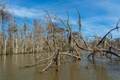 Leere Niederlassungen von Zypressenbäumen in den Sümpfen von Louisiana Stockbild